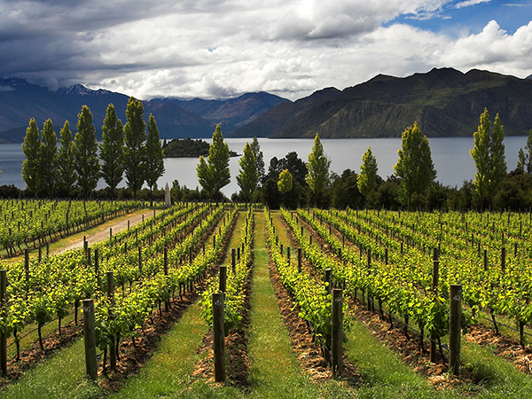 A8BNHB Panormaic image of a Lake Wanaka vineyard with mountains in background.