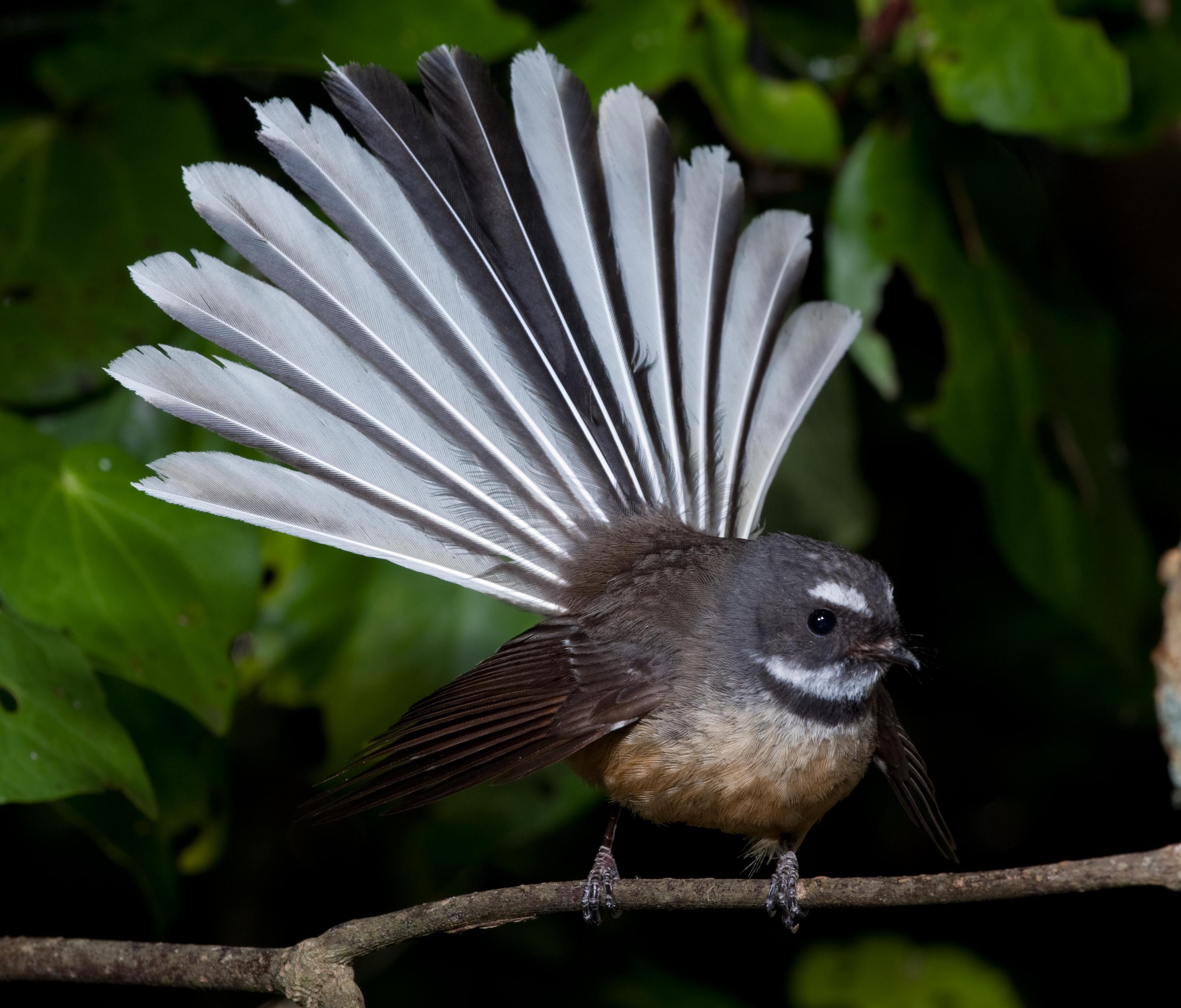 Les piafs et autres zozios en tout genre Bird665